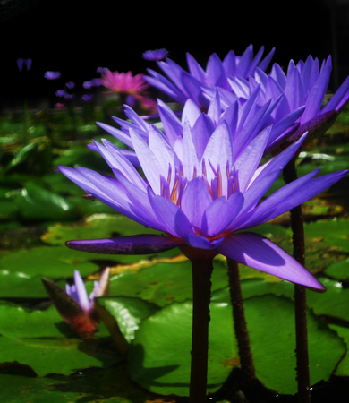 gree: beautiful purple waterlilies (lotuses), against their gree leaves, on a pond Stock Photo