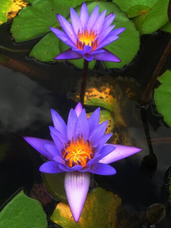 gree: beautiful purple waterlilies (lotuses), against its gree leaves, on a pond Stock Photo