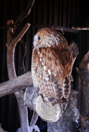captive: Tawny Owl (captive) Stock Photo