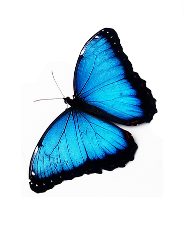 blue tropical butterfly, cut-out (clipped) Stock Photo