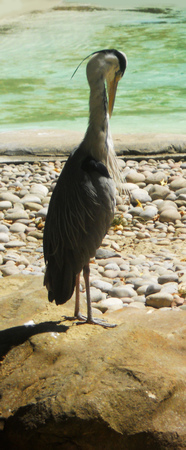 preening: heron preening