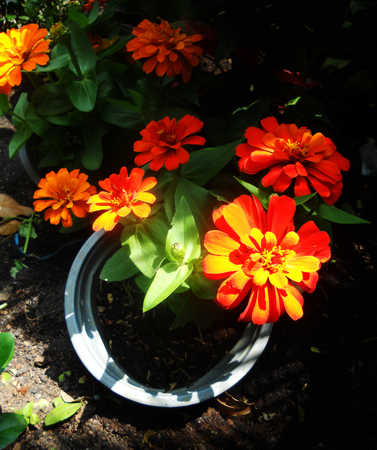 a group of bright orange marigolds growing in a pot