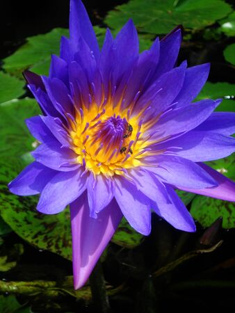 gree: beautiful purple waterlily (lotus), against its gree leaves, on a pond