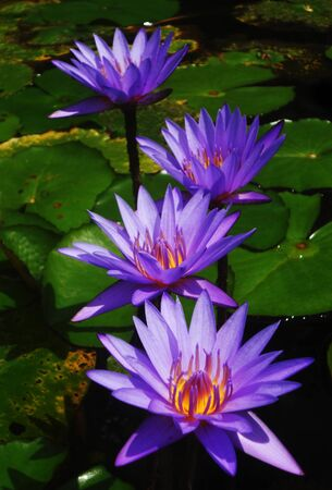 beautiful purple waterlilies (lotuses), against their gree leaves, on a pond Stock Photo