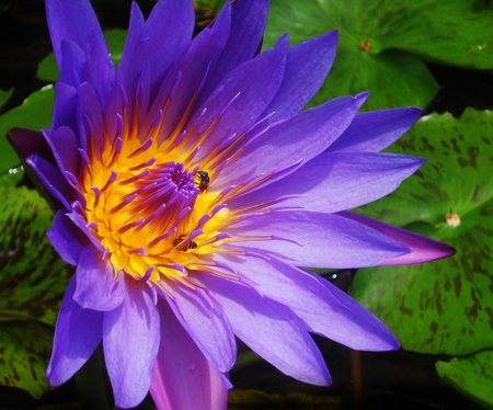 beautiful purple waterlily (lotus), against its gree leaves, on a pond