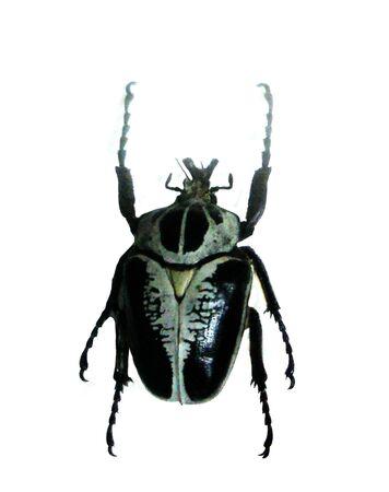 Beautiful black and white beetle