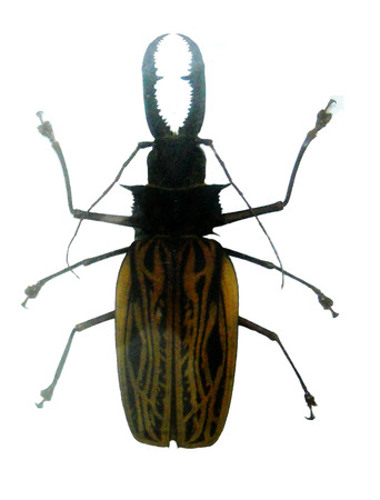Beetle with large jaws Banco de Imagens