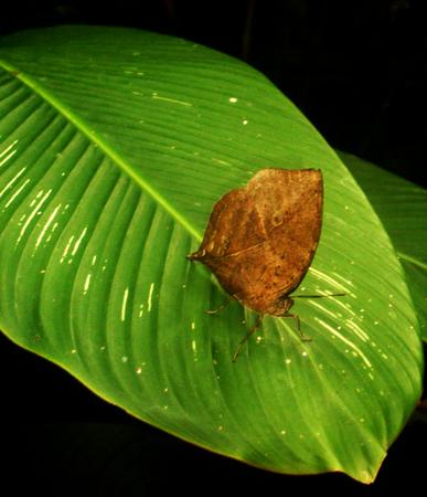 Leaf-like brown butterfly