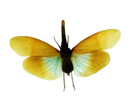Unusual colored beetle flying