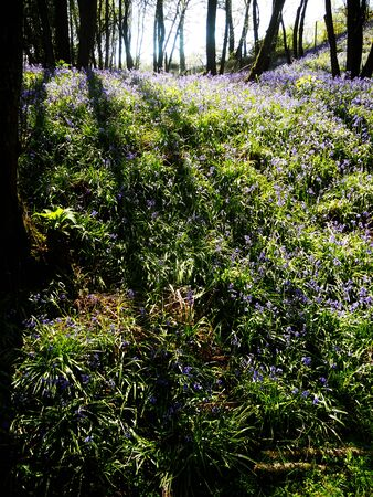 British bluebells growing in open woodland with beautiful sun and shadows