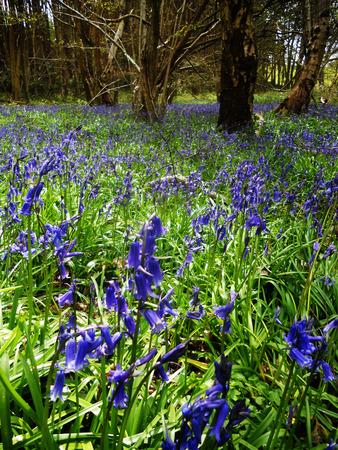 British bluebells growing in open woodland