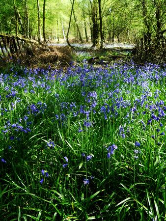 Bluebell forest, Surrey UK