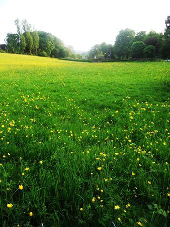 buttercups: Buttercups in a meadow