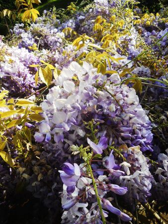 purple Wisteria flowers growing