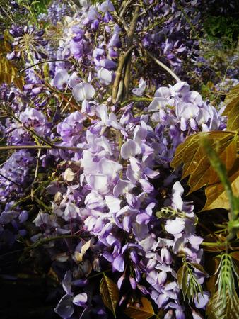 purple Wisteria flowers growing in summer in England