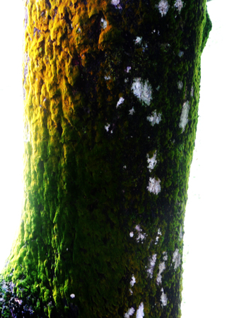mosses: bark texture with mosses
