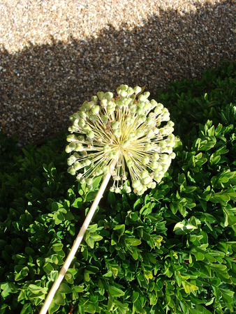 A single Allium flower head in the sun, yellow-green, against hedge and gravel background.