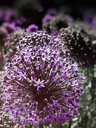 Many purple Allium flowers in an ornamental garden border, narrow depth of field, with the middle-distance in focus, with dark blur vignette, green reduction and light leak.