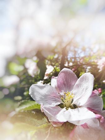 Closeup of apple blossom, with pale blur vignette.