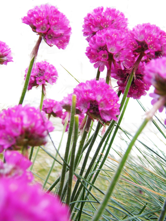 Several pink allium flowers in a garden border stock photo picture several pink allium flowers in a garden border stock photo 92526649 mightylinksfo