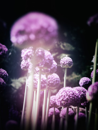 Many purple Allium flowers in an ornamental garden border, narrow depth of field, with the middle-distance in focus, with dark vignette and light leak. Stock Photo