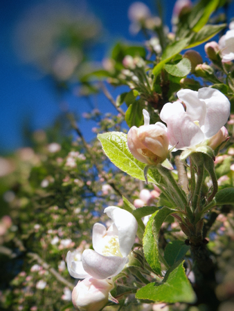 Closeup of apple blossom, spring, Surrey, England, with blur vignette. Stock Photo