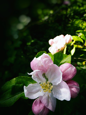 Closeup of apple blossom in spring, with a dark blur vignette.