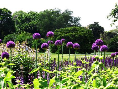 Several Purple Allium Flowers In A Garden Border, Green And Purple. Stock  Photo