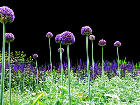 Many purple Allium flowers in an ornamental garden border.