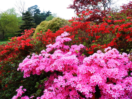 Pink Azelea flowers growing in England. Banque d'images