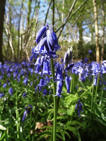 Closeup of Bluebells growing in open woodland, Surrey, UK.