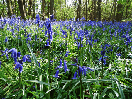 Bluebells growing in open woodland, Surrey, UK.