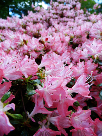 Pink azalea flowers in spring england stock photo picture and pink azalea flowers in spring england stock photo 92579924 mightylinksfo