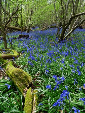 Bluebells growing in open woodland, Surrey UK.