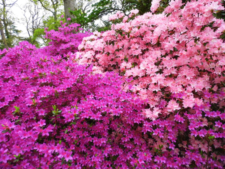 Pink and purple flowers, spring, England. Stock Photo