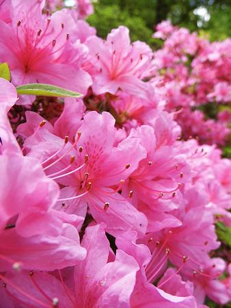 Many pink Azalea flowers growing in England.