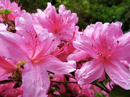 핑크 진달래 꽃 근접 촬영, 봄, 영국입니다. 스톡 콘텐츠