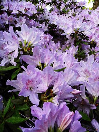 Delicate purple and white Azelea flower closeup.