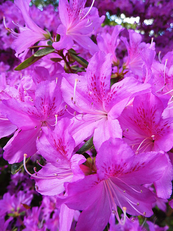 Purple Azelea flowers in sunlight, closeup.