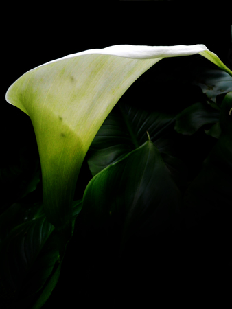 Closeup of a white Arum lily flower from the side. Stock Photo