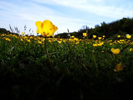 Closeup of buttercups growing in Surrey, UK Stock Photo