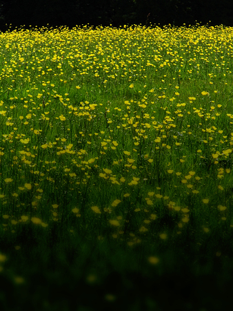 a beautiful meadow with buttercups in Surrey, UK