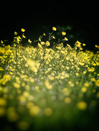 a beautiful meadow with buttercups in Surrey, UK, with dark blur vignette.