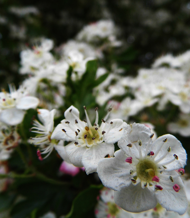 Closeup of Hawthorn blossom in early summer, Surrey, UK, shallow depth of field. Stock Photo