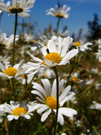 Closeup of Shasta daisies growing in the UK, shallow depth of field. Stock Photo
