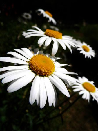 Closeup of Shasta daisies growing wild in Surrey, UK, shallow depth of field. Stock Photo