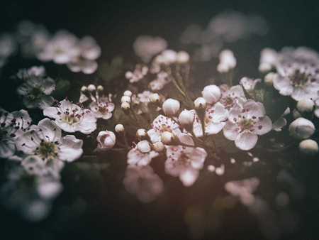 Closeup of Hawthorn blossom in early summer, Surrey, UK, shallow depth of field, dark blur vignette and color changes.