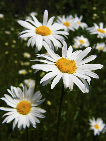 Closeup of Shasta daisies growing wild in Surrey, UK, in early summer in a pleasant grassy meadow. Stock Photo