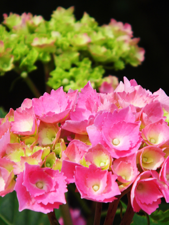 Pink Hydrangea blossom, growing in the UK, early summer.
