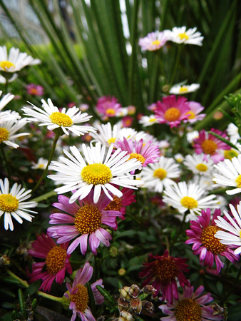 Closeup of multi-colored small daisies, maybe Mesembryanthemum or Livingstone Daisies.